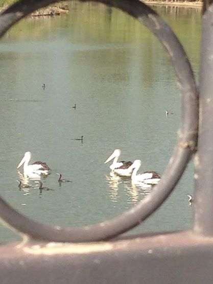 Pelicans through the window