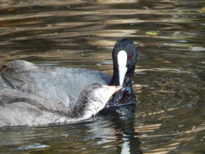 Baby coot being fed