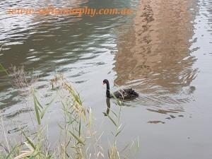Swan on Torrens